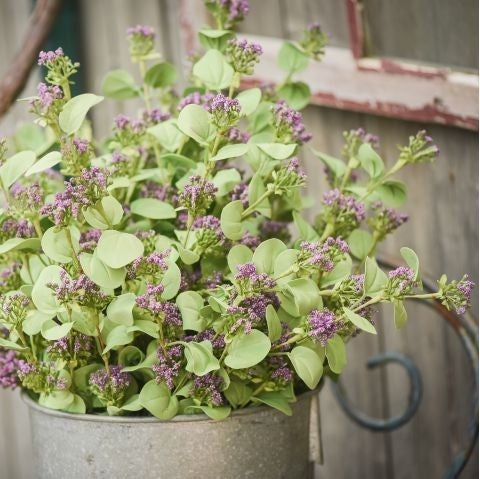 "33"" Queen Anne Eucalyptus Stem, Dark Purple"