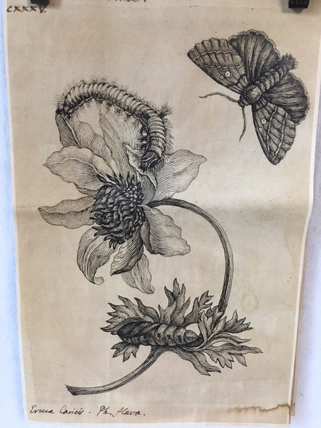 Monahan Paper anemone