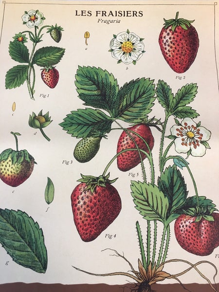 Strawberry poster by Cavallini Paper