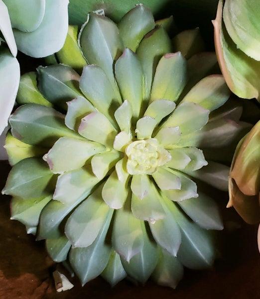 Tight Succulent