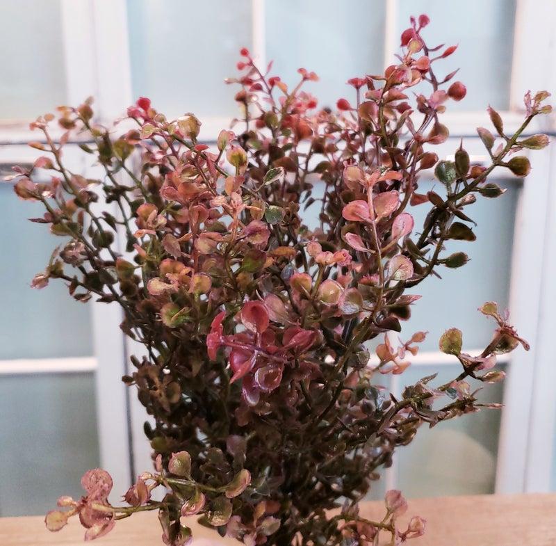 Red Babygrass Bush