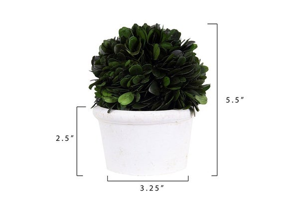 Preserved Boxwood Topiary Half Ball in White Clay Pot