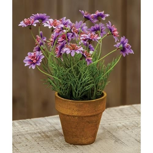 Potted Star Daisy - Lavender