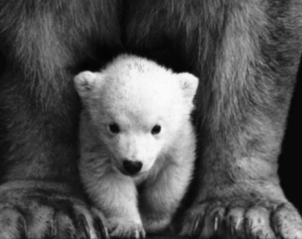 "SQUARE Baby Bear 8""x10"" (GF-075)"