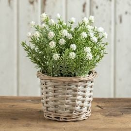 "8.5"" White Flowering Plant in Wicker Basket"