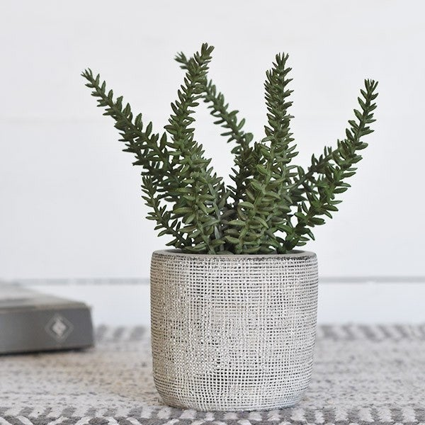 ROSEMARY IN CEMENT POT