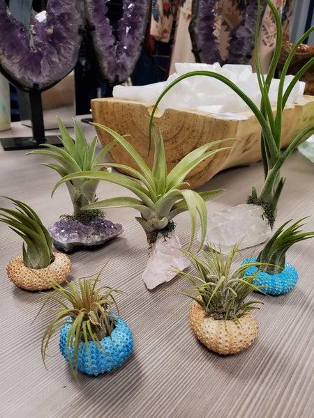 Air Plant + Urchin Shell Holder- Indoor planter