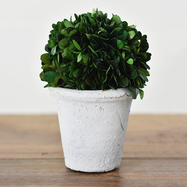 """7"""" Preserved Boxwood Topiary"""