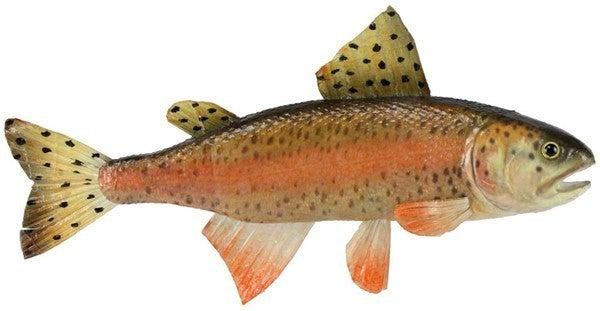 "15""L Rainbow Trout"