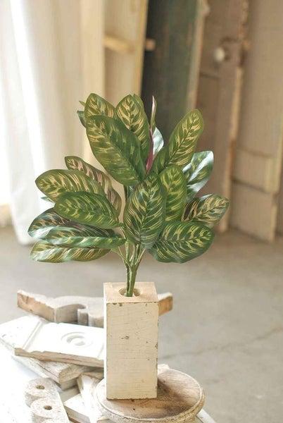 "Peacock Plant | 24"""