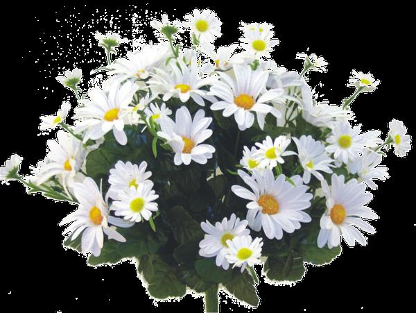 Garden Daisy Bush