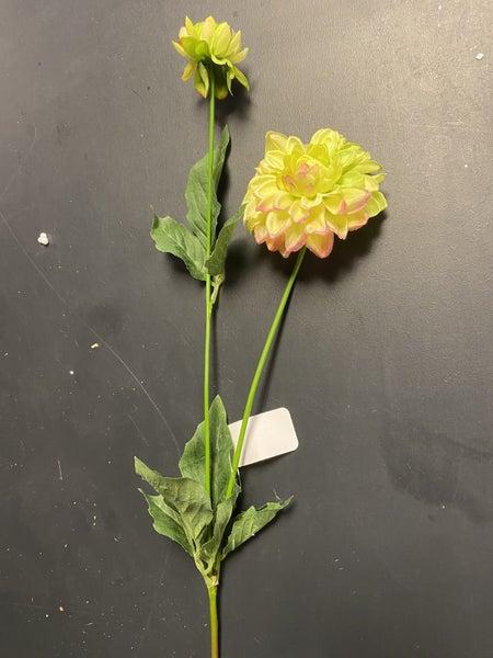 green and pink mini dahlia