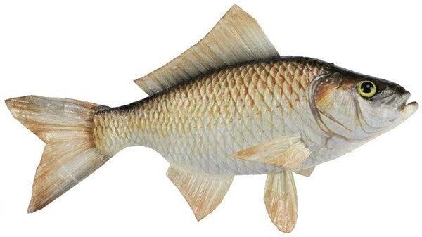 """11"""" White Fish"""