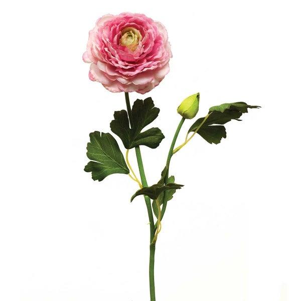 """English Ranunculus X2 3""""x21"""" Magenta"""